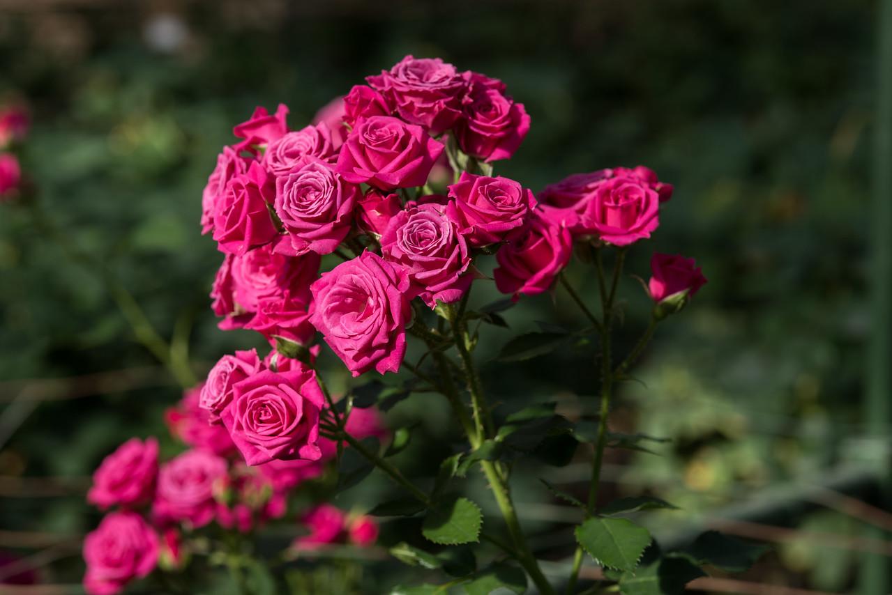 1-19-16 Rosa 'INTERkuyl- (Lovely Lydia) - Rose House - Longwood Gardens-52