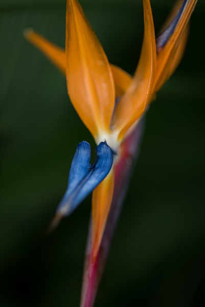 10-29-15 Bird of Paradise - Longwood Gardens, PA-286