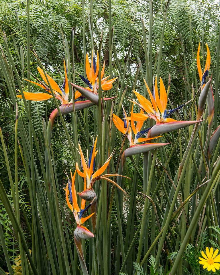3-30-15 Stelitzia juncea - Mediterranean Garden-24