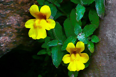 Monkey Flower Duet