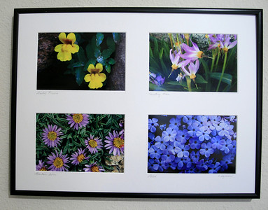 A horizontally oriented quartet of High SIerra WIldflowers matted and framed in a 16 ⅜ X 12 ⅜ inch frame. Clockwise from upper left are Monkey Flowers, Shooting Stars, Phlox, and Mountain Aster. Custom flower selection available for the same price of $25.