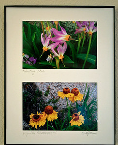 A lovely duet of 4 X 6 inch High Sierra Wildflower prints. Shooting Stars on top and Bigelow Sneezeweed on the bottom. Custom flower selection available for the same price of $15.
