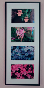 A matted and framed quartet of High Sierra Wildflowers.  Prints are 4 X 6 in. Finished frame is 8.6 X 20.5 inches. Great for narrow walls in bathrooms or kitchens. Two framed sets side-by side are stunning. (Custom flower selection available for same price). Shown from top to bottom are:  Monkey Flowers and Shooting Stars taken on Darwin Bench at 11,200 feet, Phlox taken at Hetch Hetchy Yosemite, and Rock Fringe. $25.