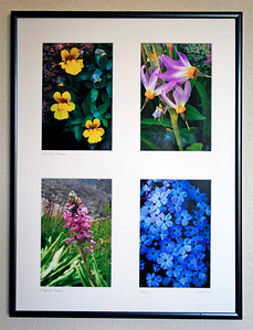 A vertically oriented quartet of High SIerra WIldflowers matted and framed in a 16 ⅜ X 12 ⅜ inch frame. Clockwise from upper left are Monkey Flowers, Shooting Stars, Phlox, and Elephant Heads. Custom flower selection available for same price. $25.