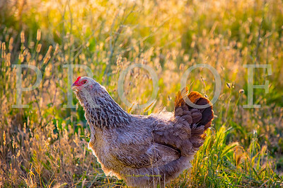 French Country Hen