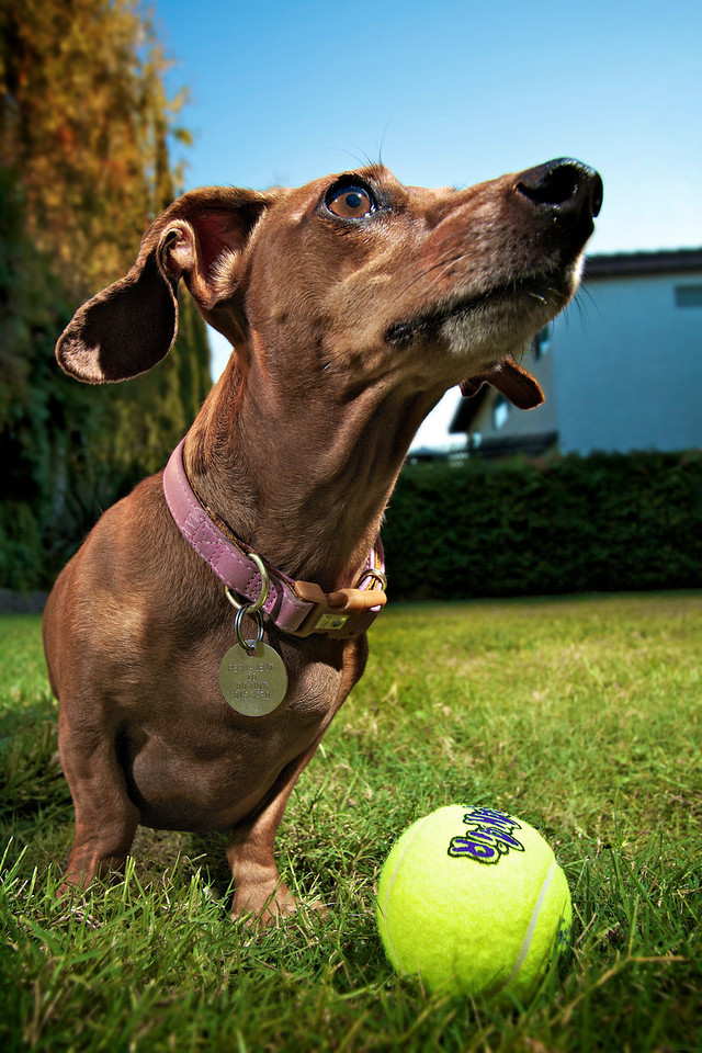 """Title: Can We Play Ball Now?<br /> 2nd Place in the """"Empire of Animals"""" community (Dog Portrait) competition of Inspire 2011: <a href=""""http://inspi.re/"""">http://inspi.re/</a><br /> Paw Nation """"Cute Pet of the Day"""" Nov 22nd 2010<br /> <a href=""""http://www.pawnation.com/2010/11/22/cute-pet-of-the-day-november-22-2010/"""">http://www.pawnation.com/2010/11/22/cute-pet-of-the-day-november-22-2010/</a>"""