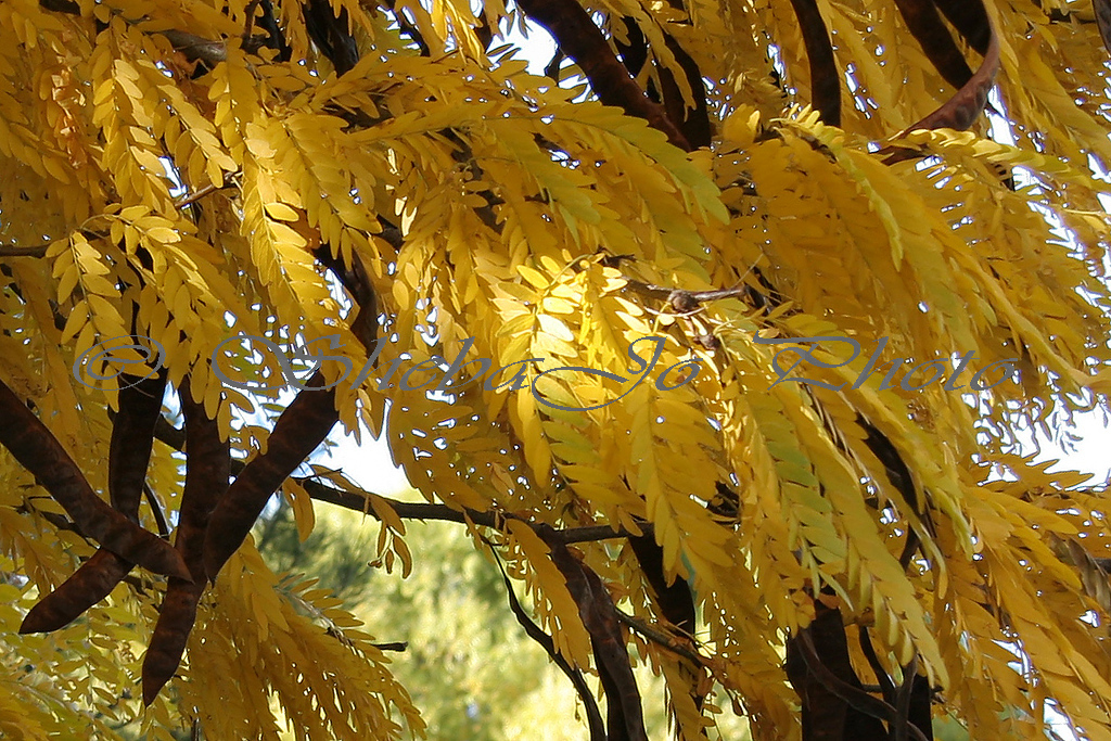 Honey Locust tree, with very stinky beans that will soon fall all over my lawn. But, the yellow, gold and bronze leaves are pretty. 10-24-05