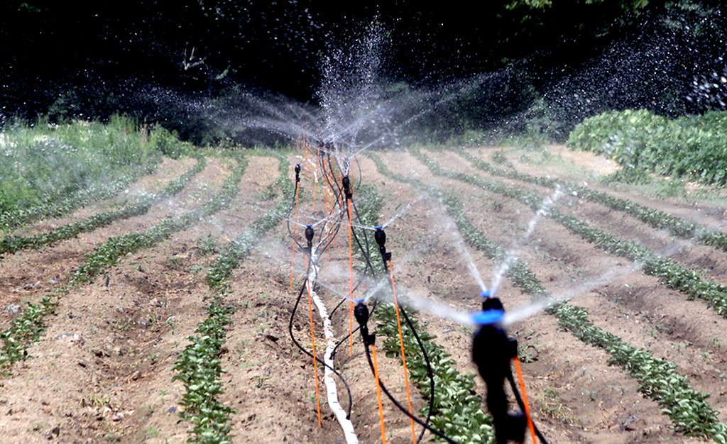 . Getting a water spray or misting are strawberry plants(this is to keep them from drying out) at Harper Farms in Lancester. SEN/David H. Brow