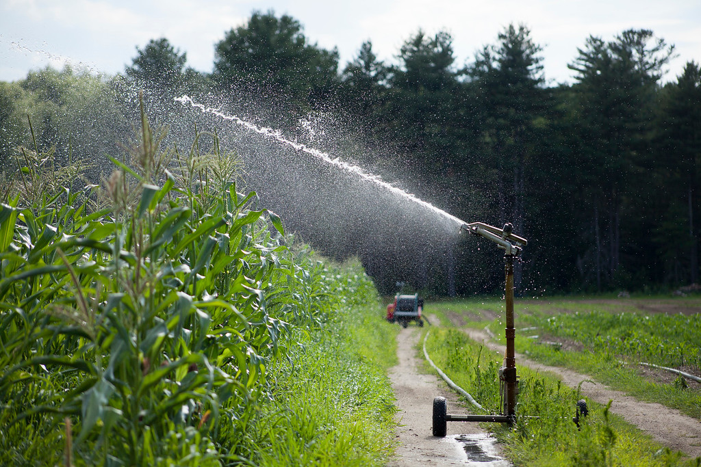 . A sprinkler waters corn crops at Saja�s Countryside Farm in Dracut on Tuesday, when temperatures were in the 90s. SUN/CHRIS LISINSKI