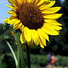A large sunflower shines bright at Gove Farm in Leominster. SEN/David H. Brow