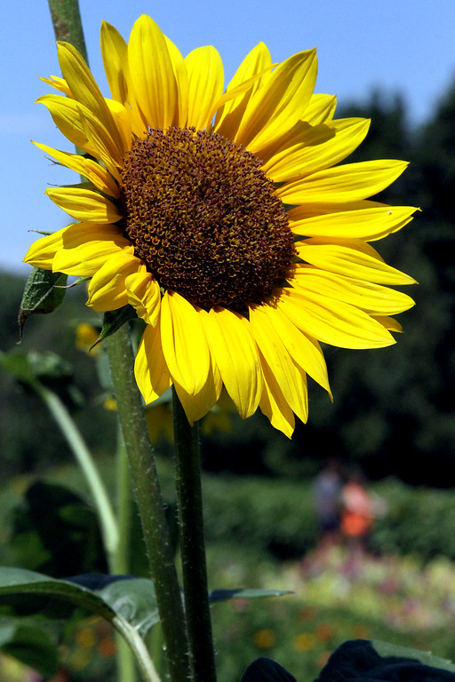 . A large sunflower shines bright at Gove Farm in Leominster. SEN/David H. Brow