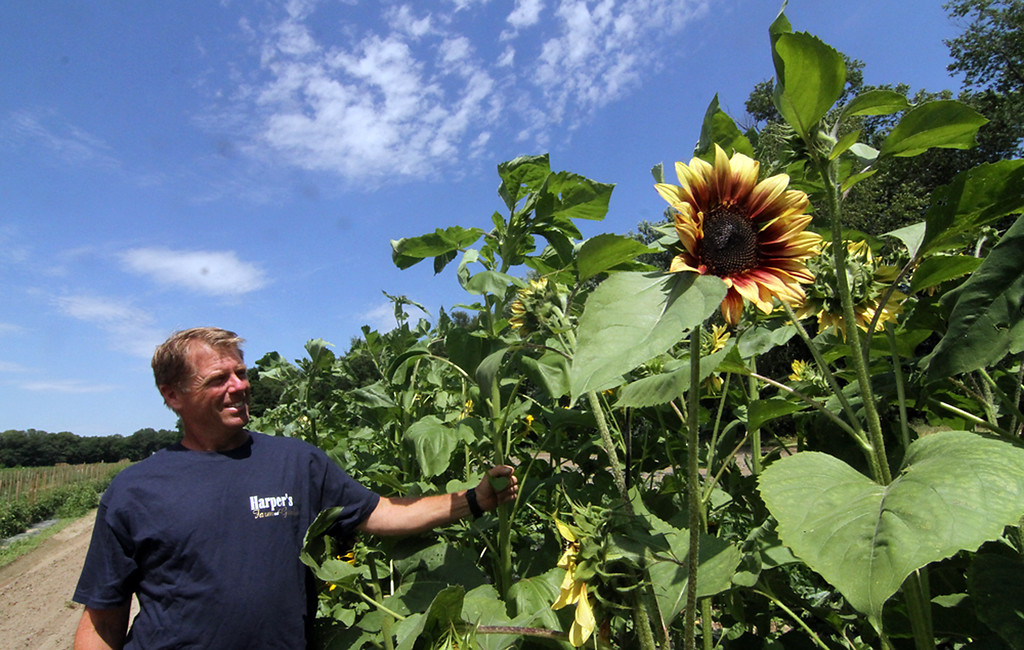 . Owner of Harper Farms in Lancester, Dave Harper, stands out in one of his fields showing sunflowers. SEN/David H. Brow