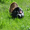 Photographer's name: Jerry Fuller<br /> ______________________________________________________________________<br /> Who is in the photo? Wild Tom Turkey<br /> ______________________________________________________________________<br /> What is happening in the photo? Wild Turkey hiding in the grass<br /> ______________________________________________________________________<br /> Date photo was taken 04-04-2016                           Location in photo  Near Elk Creek and Stonyford in Glenn and Colusa County's