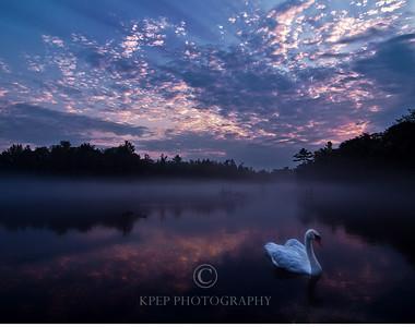 Dawn's Swan