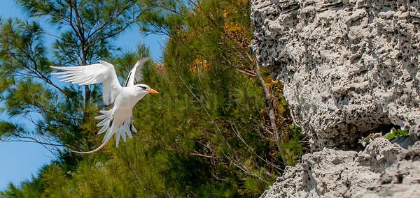 Bermuda Longtail approaching the rock nest.