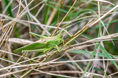Great Green Bush-Cricket-6303-2.jpg