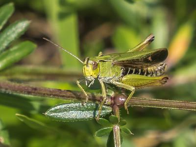 Short horned Grass Hopper-30808-3.jpg