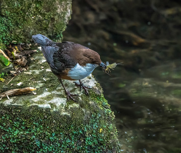 The Dipper and the Mayfly and . . .  Ian Peters