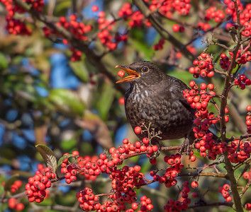 The Blackbird and the Berry - Ian Peters (1 of 1).jpg
