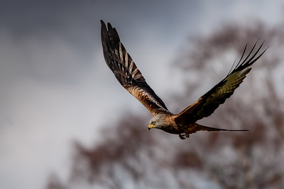 Red Kite - Ian Peters (1 of 1)-2.jpg