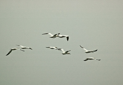 Gannets in flight Farne Islands 295 x 205 300 dpi 2609.jpg