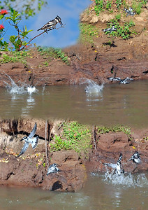 074_Pied Kingfishers - the race is on!.jpg