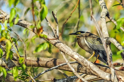Green Backed Heron - Ian Peters.jpg
