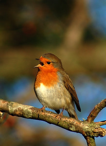 Robin of Rodborough-2.jpg