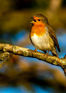 Robin of Rodborough 5 x 7 Sharpen 8819.jpg