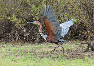077_A Goliath Heron takes off.jpg