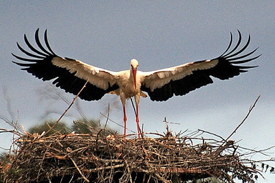 The Stork has landed 6 x 4 300 dpi crop ACDSee 0039-1.jpg