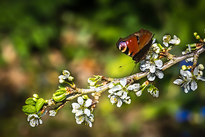 Peacock on Plum Blossom