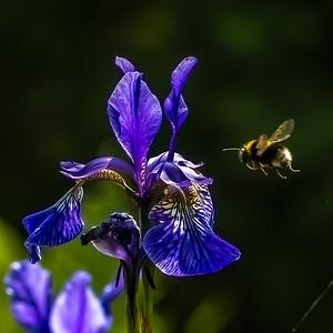 Buff tailed bee nectaring on Iris 5586-2.jpg