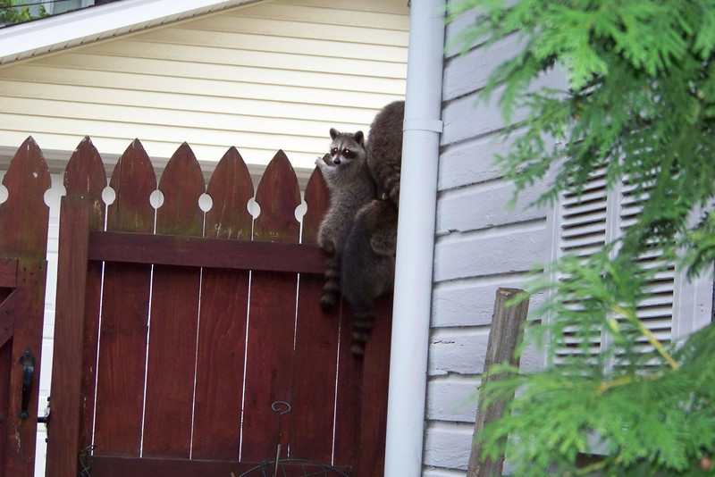 Little racoons are making their way to safety...but still checking us out.  July 2010