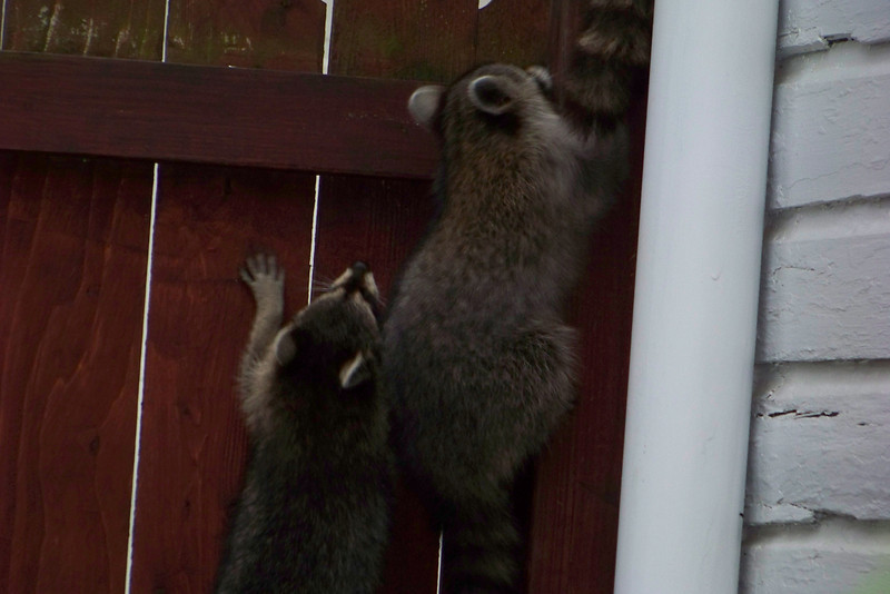 Mama Racoon leads her family out of the yard after we startle them.  July 2010