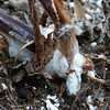 Frost flowers - January 8, 2013