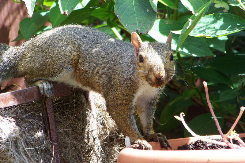 Little varmint has been caught in the act of burying something in my flower pot...8/30/2009