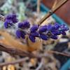 Lavender - November 24, 2012