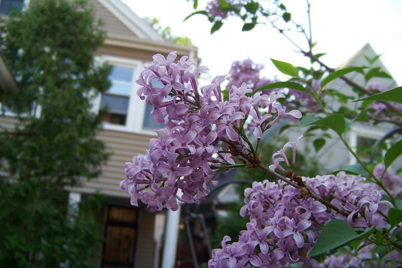 Lilac!  April, 2010