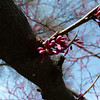 Redbud - March 17th, 2012 - front yard