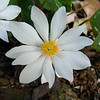 Backyard Bloodroot - March 17, 2012