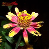 Zinnia at night.  9/19/2009