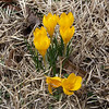 Anita's Crocuses - February 15th, 2009