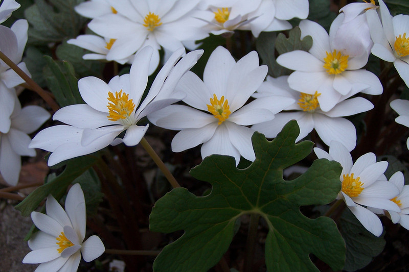 Backyard Bloodroot - April 1st, 2005