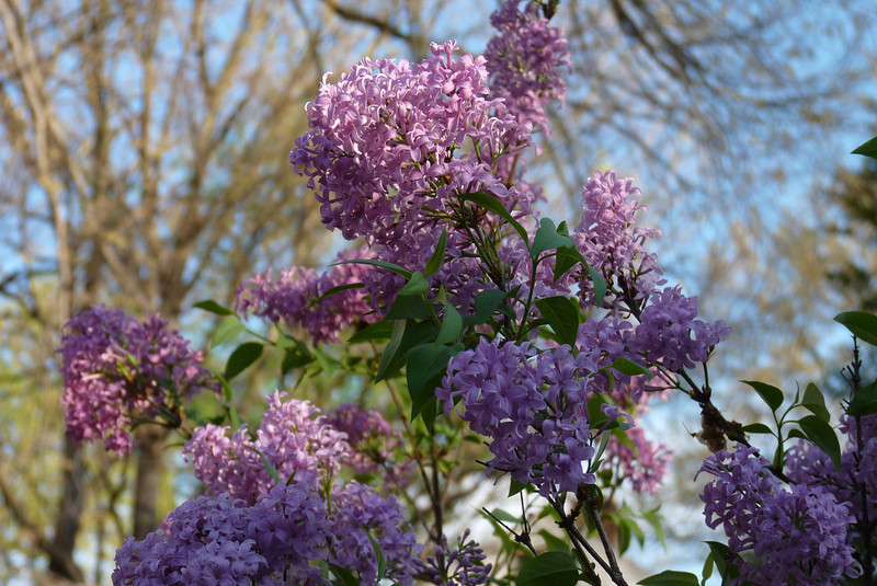 The lilac bloomed about 3 weeks earlier than usual...March 24th, 2012.
