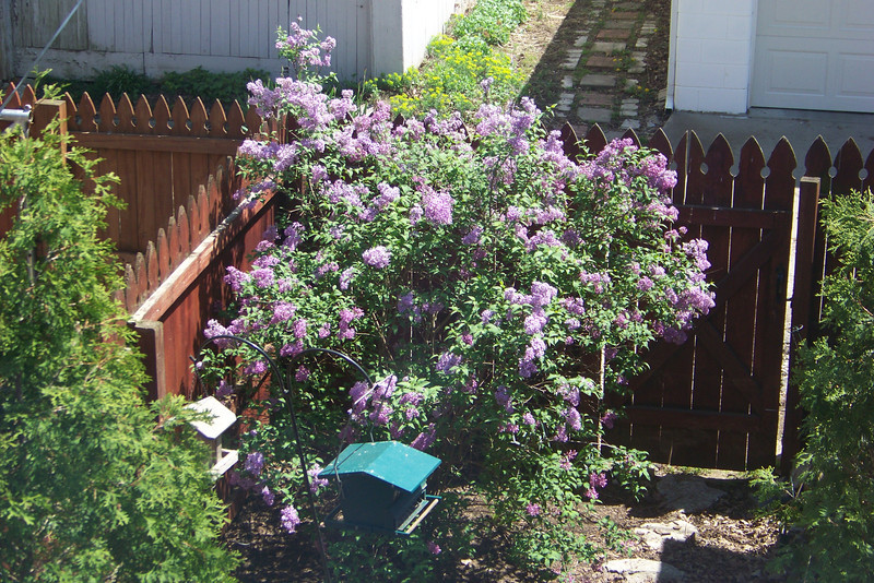 The lilac was really pretty in April of 2008!
