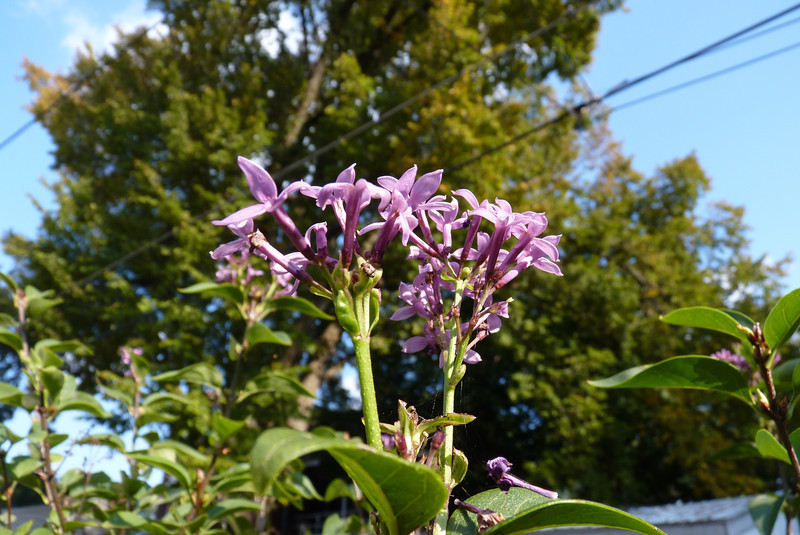 Late September, and the lilac decided to bloom again!  September 29, 2012