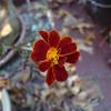 Marigold - November 24, 2012