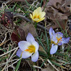 Anita's Snow Crocuses.  February 21, 2010.