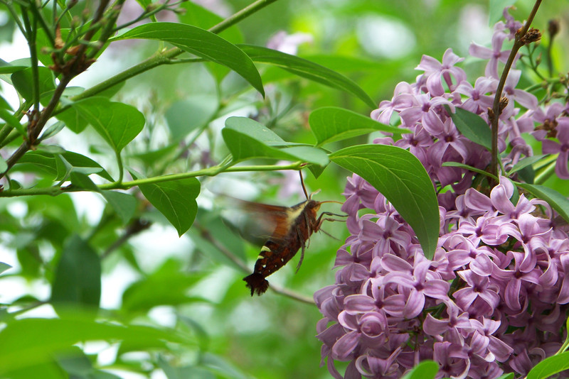 This is a Nessus Sphinx moth (Amphion floridensis) feeding on my lilac.  April 27th, 2008.  The nice folks at WhatsThatBug.com helped me with the identification.